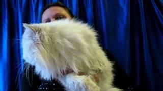Персидский кот шиншилла на выставке кошек PCA