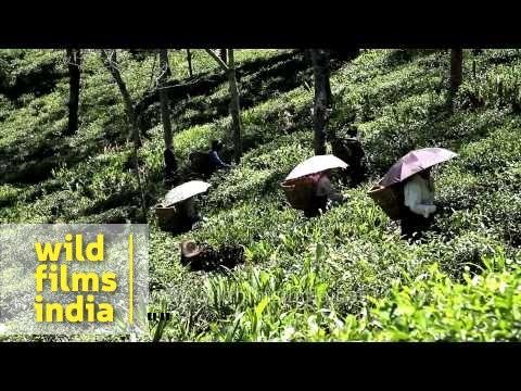 Women tea worker plucking tea leaves in tea garden, Darjeeling