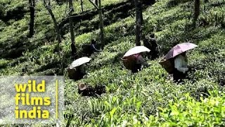 Women tea worker plucking tea leaves in tea garden, Darjeeling