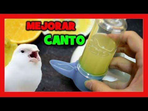 VITAMINAS PARA MEJORAR EL CANTO DEL CANARIO 🐥 RECETA NATURAL PARA MEJORAR EL CANTO DE CANARIOS
