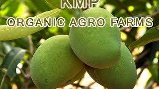 KMP Agro Farms - Alphonso Variety of Mangos