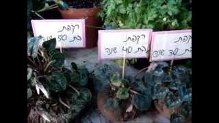 זרעים מציון - תצוגת פקעות בר