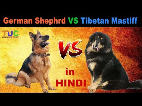 Tibetan Mastiff VS German Shepherd : Dog vs Dog : Dog Comparison : The Ultimate Channel