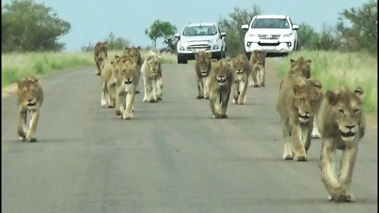Kruger Park's Largest Lion Pride Ever Walking in Road