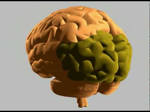 How the human brain works