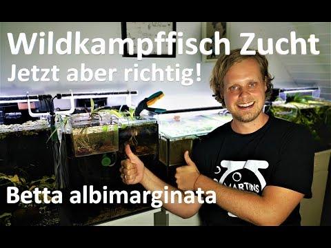 Kampffisch Zucht Betta Albimarginata - Jetzt Aber Richtig!