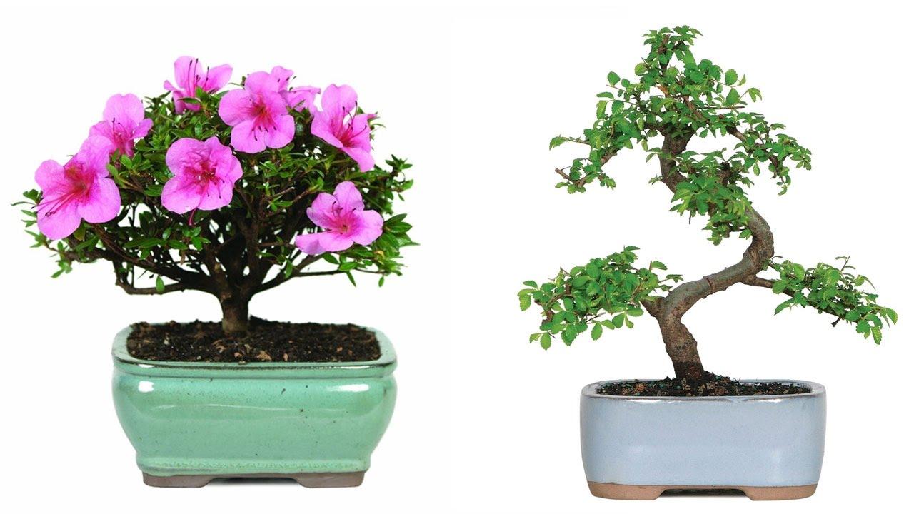 Top 5 best bonsai trees reviews 2016 best cheap bonsai trees for top 5 best bonsai trees reviews 2016 best cheap bonsai trees for indoors and outdoors izmirmasajfo
