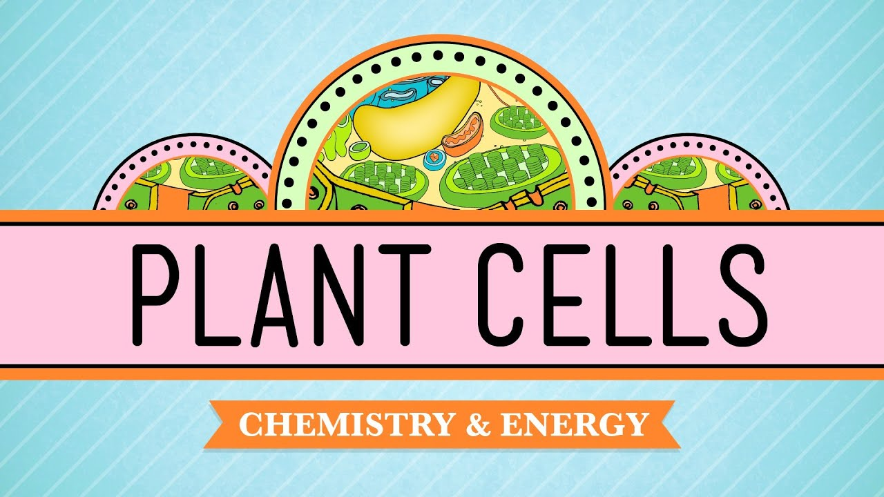 Plant Cells Crash Course Biology 6 Youtube Simple Cell Diagram For Kids