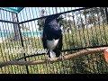 Suara Burung Kacer Jantan Gacor Alami Durasi Panjang Bikin Kacer Anda Langsung Ikut Tarung  Mp3 - Mp4 Download