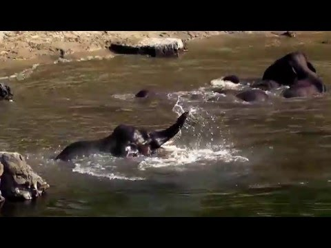 Herd of 20 Elephants having fun in the river  Jim Corbett