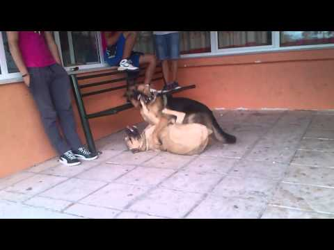 german shepherd vs dogo mix kangal....