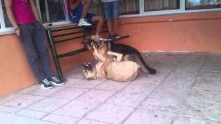 Repeat youtube video german shepherd vs dogo mix kangal....
