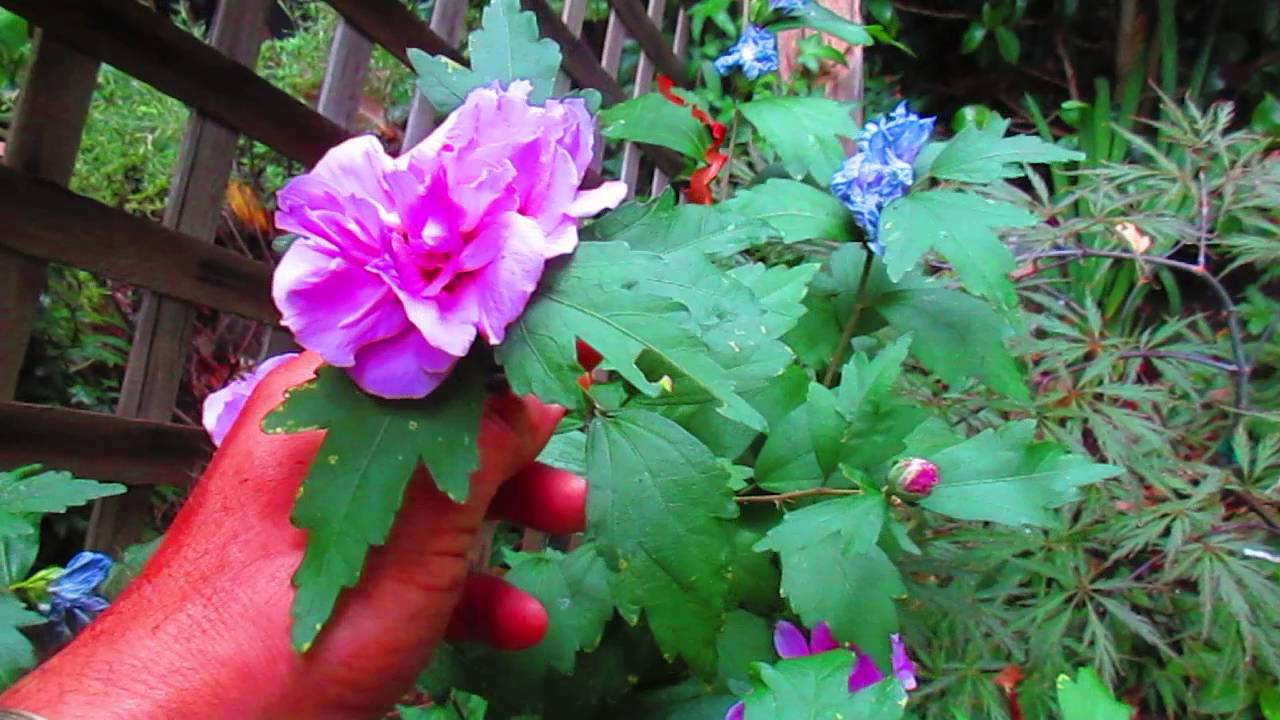Growing Hardy Hibiscus In Canada Youtube