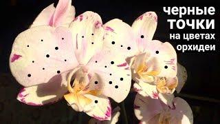 Что за ТОЧКИ на ЦВЕТАХ ОРХИДЕИ и почему после опрыскивания водой орхидея отсушивает цветы?