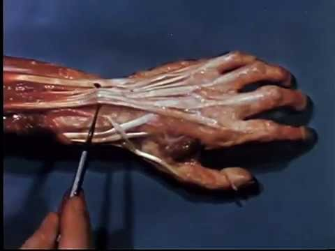 Yale School of Medicine video from the 70s showing the different tendons of the hand and how each one moves different parts of your finger.