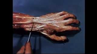 Functional Anatomy of the Hand