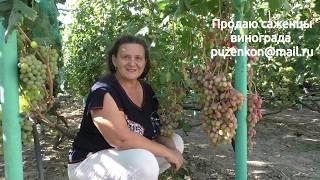 Виноград Розалинда  на участке Пузенко Натальи Лариасовны