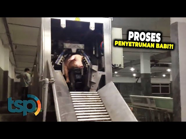 Inilah Proses Penyetruman Babi yang Bikin Geger Netizen Dunia