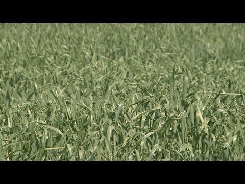 Winter Wheat Scouting - Stephen Wegulo - May 12, 2017