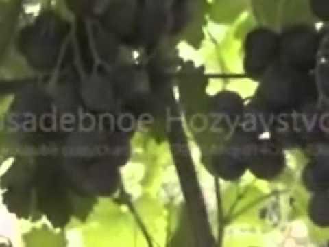 Самые лучшие ранние сорта винограда