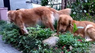 雨上がりの庭ではしゃぐモモ・ヴィヴィ・サスケ まずいはずのケールの葉...