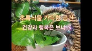 (식물인테리어 화초키우기) 양배추 먹고 남은 꽁다리 수…