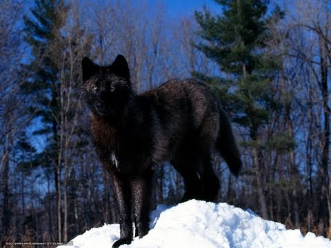 History of the Black Wolf. Nat Geo Wild 2018