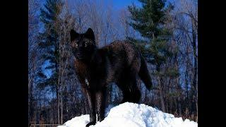 History of the Black Wolf. Nat Geo Wild 2018