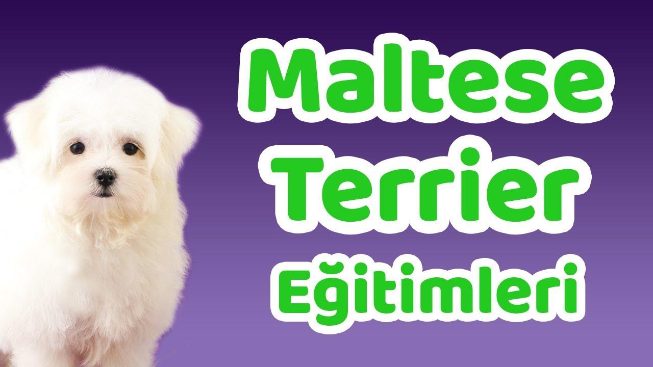 Maltese Terrier eğitimleri, temel ve ileri eğitimi