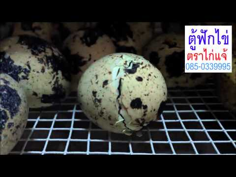 ฟักไข่นกกระทาสำเร็จ ตู้ฟักไข่ตราไก่แจ้ โทร.085-0339995