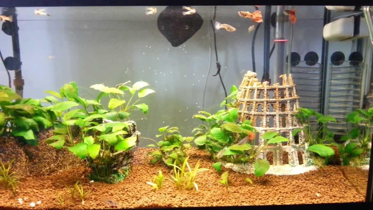 acquario hd dolce guppy,black molly con piante vere - youtube - Allestimento Acquario Dolce Con Piante Vere