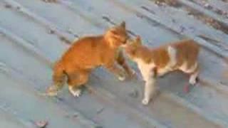 Cat  Fighting   ليبية