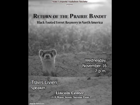 Return of the Prairie Bandit--Black Footed Ferret Recovery by Travis Livieri