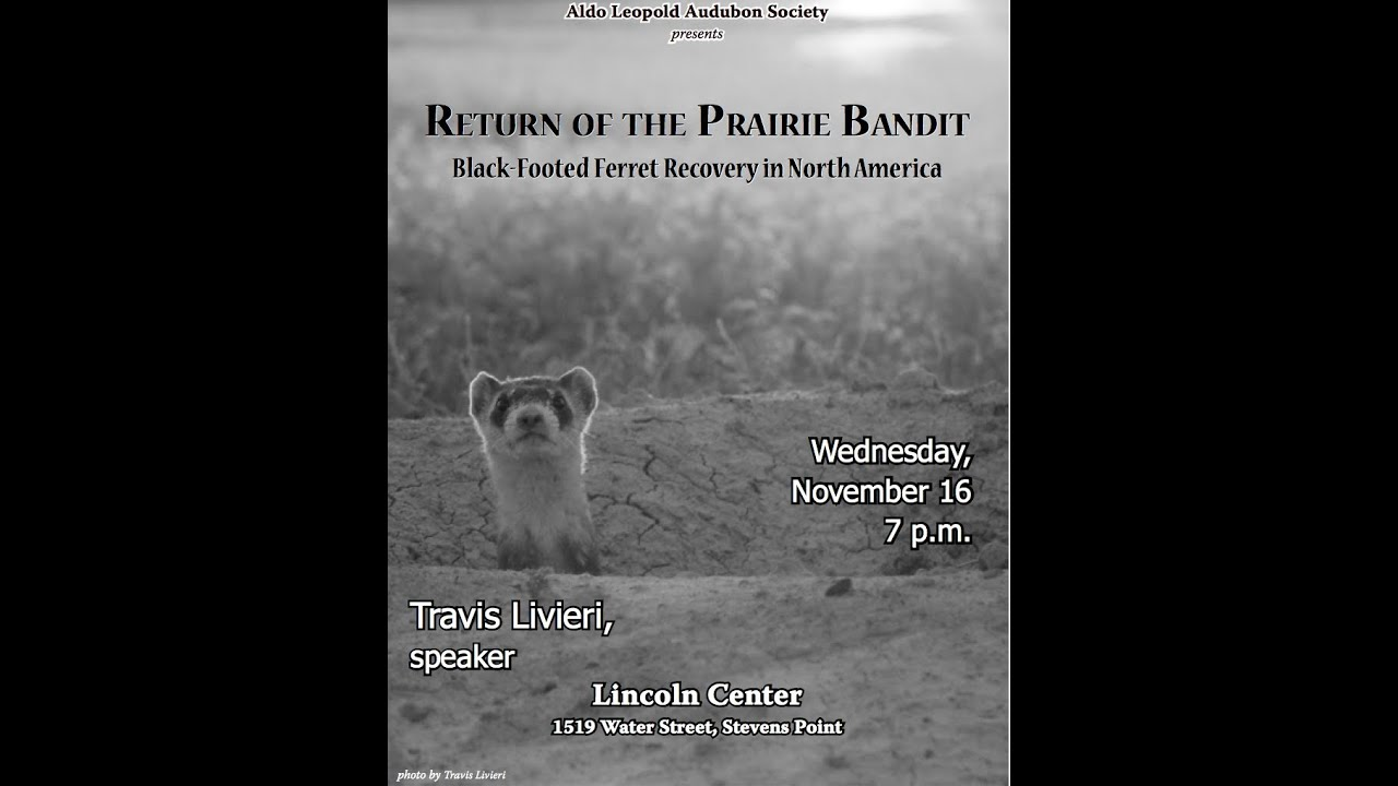 Download Return of the Prairie Bandit--Black Footed Ferret Recovery by Travis Livieri