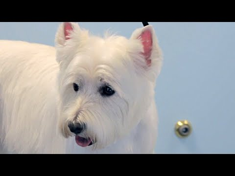 How To Groom A Westie - West Highland White Terrier - Do-It-Yourself Dog