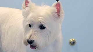 How to Groom a Westie  West Highland White Terrier  DoItYourself Dog