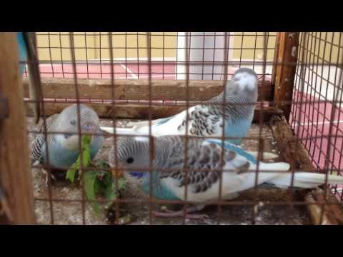 blue and white love birds chennai