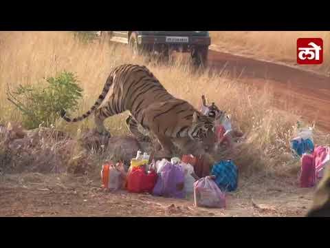 Tadoba Andhari National Park tiger cub took workers tiffin