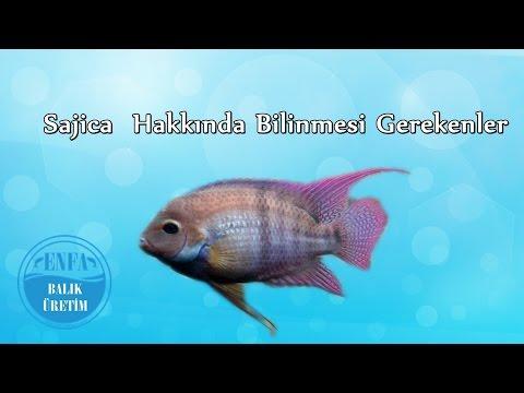 Sajica Ciklet Balığı Hakkında Bilinmesi Gerekenler