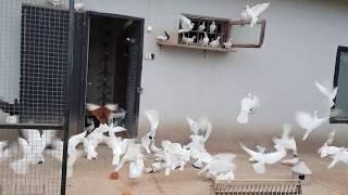 Gołębie Jacka 4 ( pigeons )