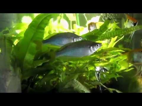 Murray River Rainbow Fish