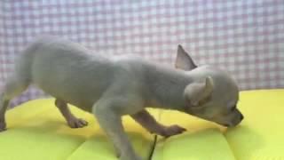 犬種 スムースコートチワワ 生年月日 2016/04/07 性別 ♀ 毛色 フォーン.