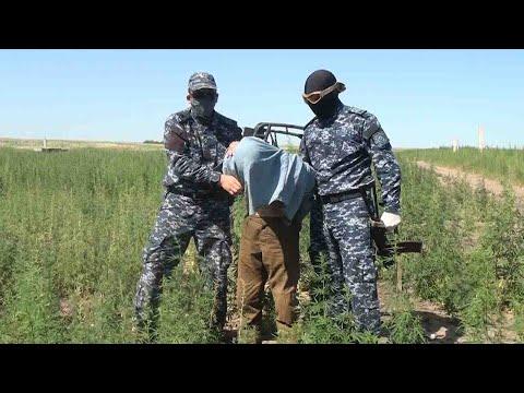 Незаконного оборота изъято более 400 кг различных наркотических средств.  «Карасора-2020»
