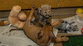 Cheetah Cub And Puppy Playtime