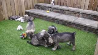Miniature Schnauzer Pups For Sale
