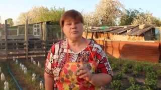 Выращивание капусты под бутылками.