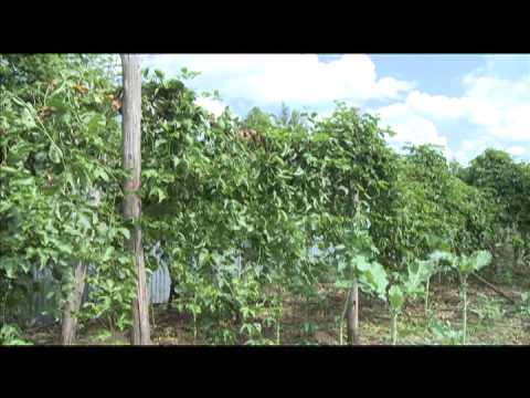 Smart Farm - Passion Fruit Farming