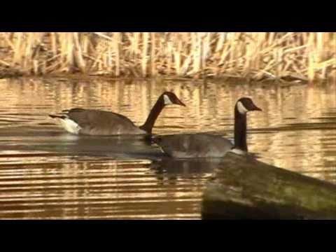 Canada Goose' sounds calling