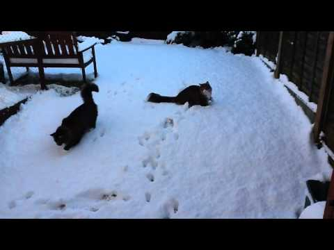 Norwegian Forest Cats in first real snow of winter 2011