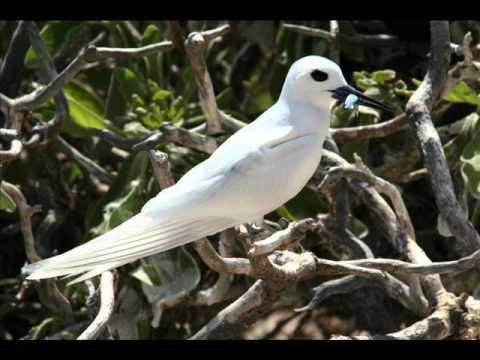 White Tern - Gygis Alba